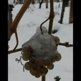 Viti Moscato sotto la neve - Moscato vines under snow